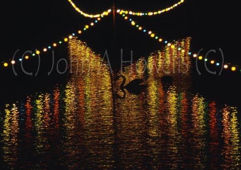 Black Swan at Night