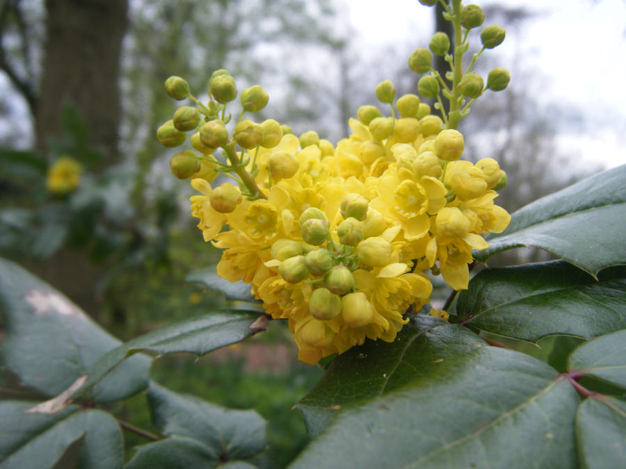 Yellow holly blossoms by wildluna on deviantart yellow holly blossoms by wildluna mightylinksfo