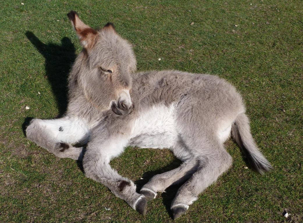 Donkeys 04 by LadyxBoleyn