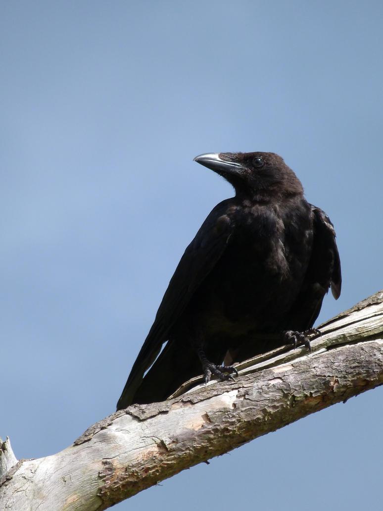 Crow 04 by LadyxBoleyn