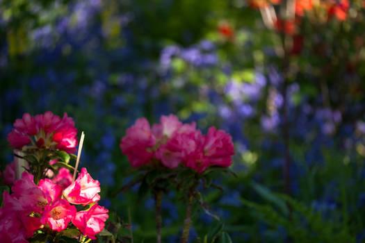 Rhodedenrons and Bluebells in June Argyll