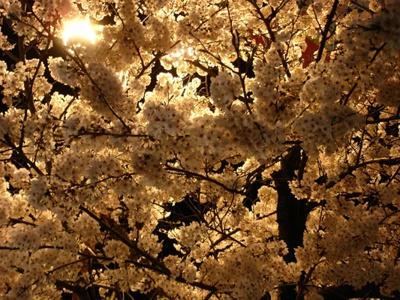 Japanese tree by Angelforu