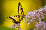 Yellow Butterfly by BStadler