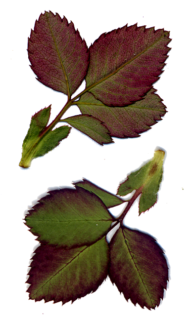 Rose Vine Leaves by DarkroomAlchemist on DeviantArt