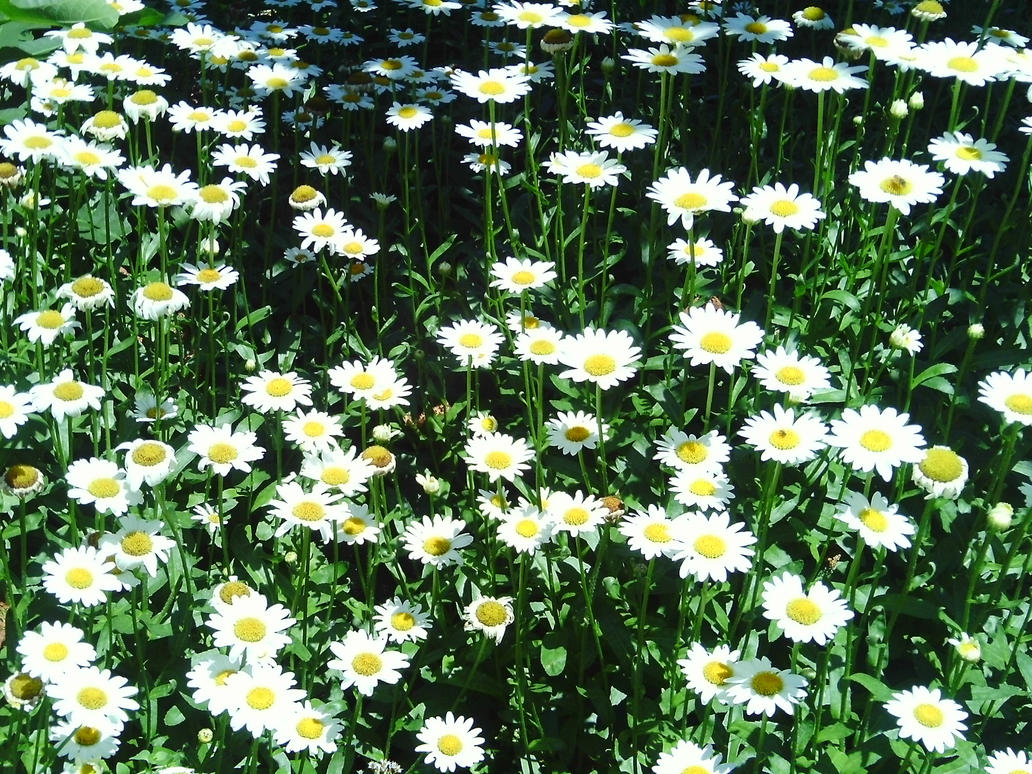 Field of Daisies by Lucy-kTumblr Backgrounds Daisies