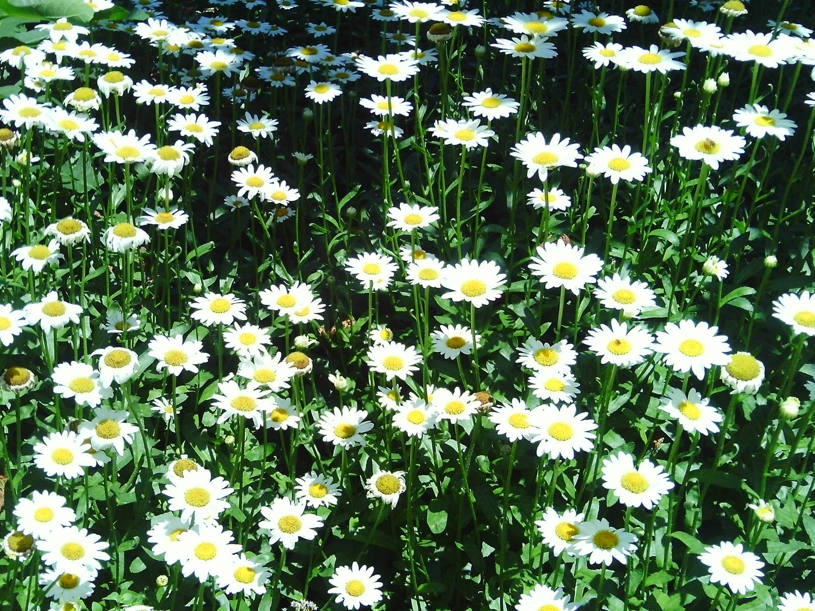 A Field of Daisies by Lucy-k on DeviantArt
