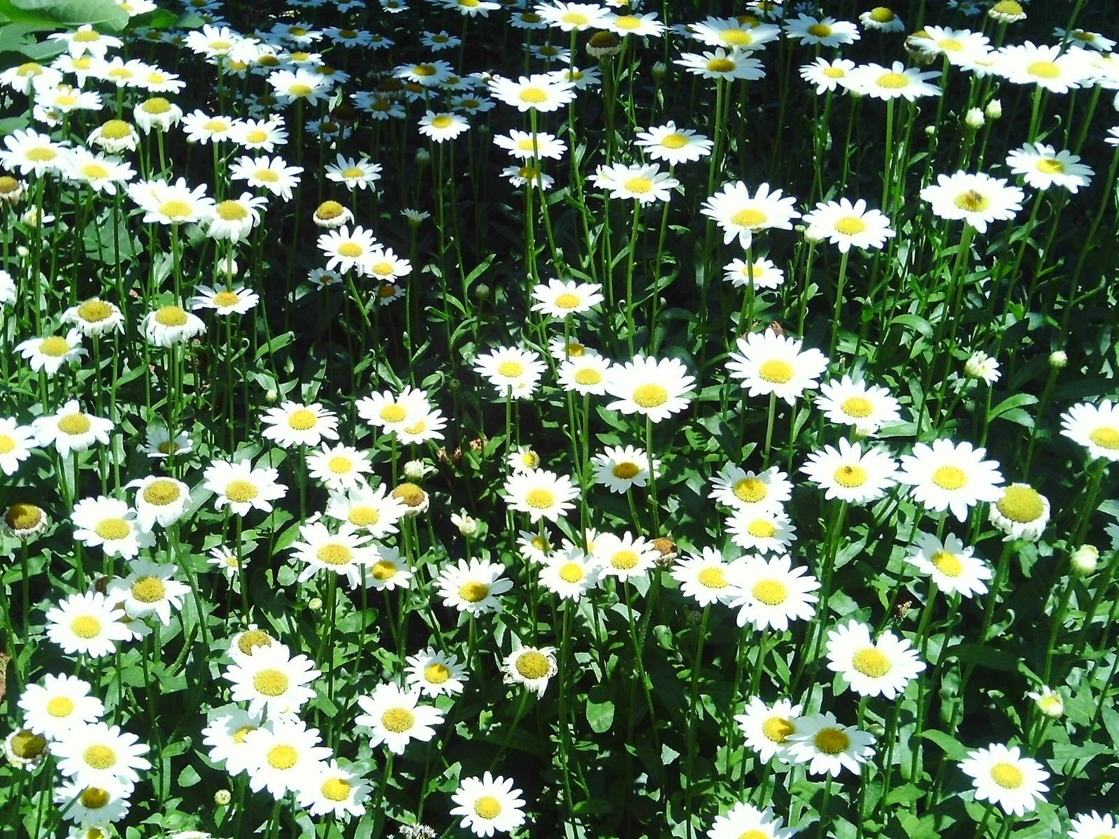 field of daisies tumblr wwwpixsharkcom images