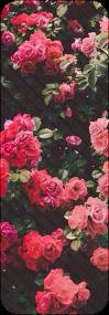 : roses : by Serri765