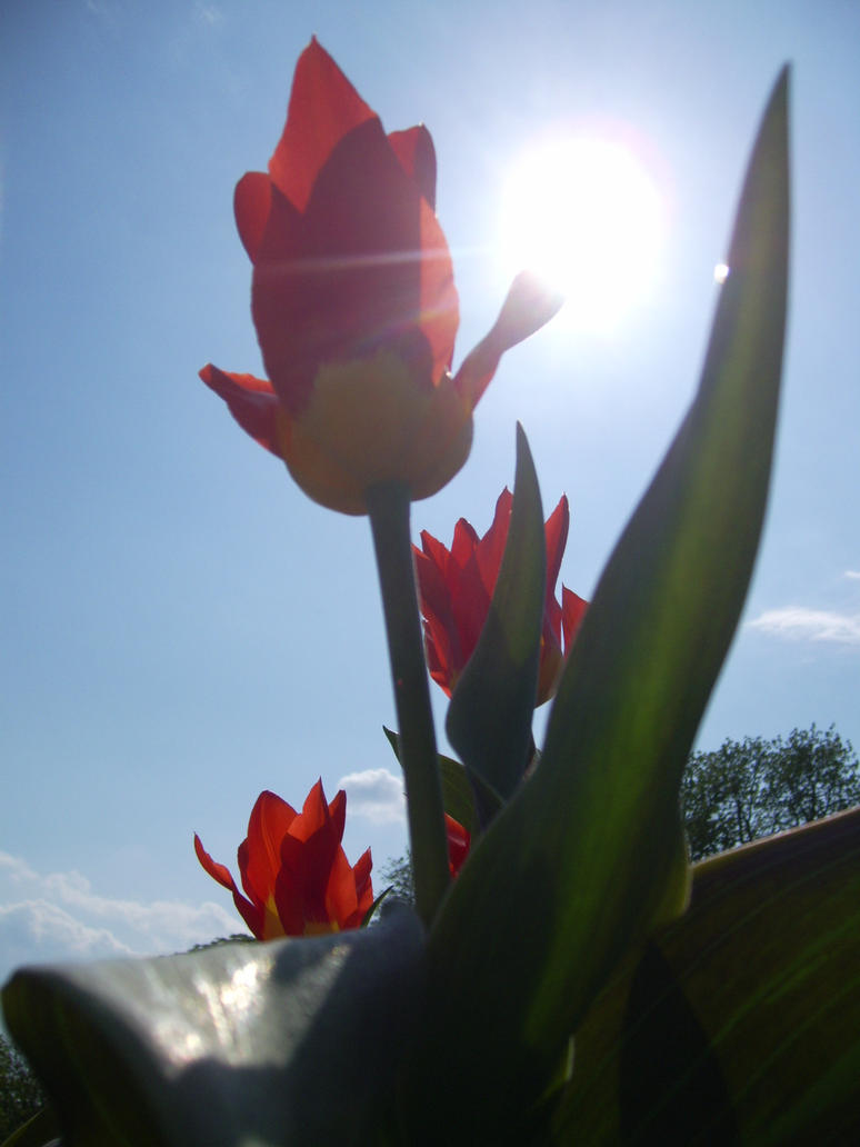 tulips by agnese9
