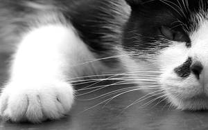 Black and White_Cat by Rotschweif