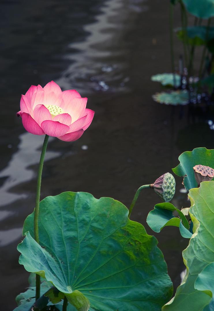 Lotus by manzin