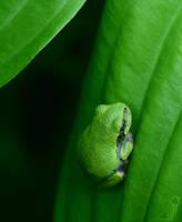 Gray Tree Frog by Aliuh