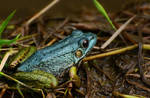 Turquoise Frog by Aliuh