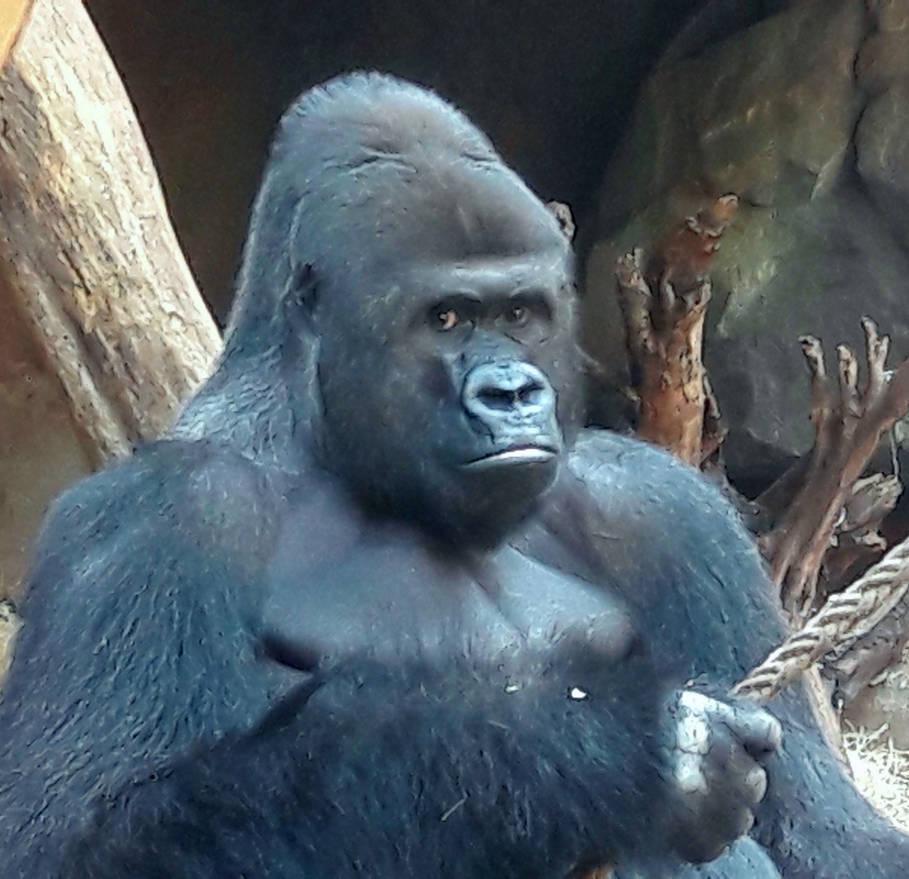 GORILLA IN FFM ZOO by photographiclady