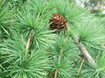 Spruce in the close-up