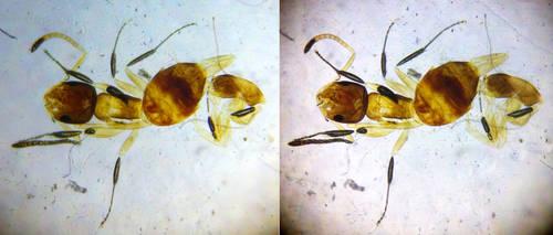 3D ant (microscope) by Bigburgy