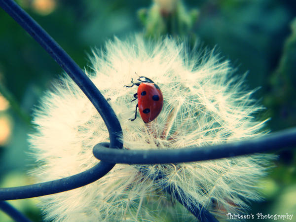 Ladybug  by iuliana13 - u�ur b�cekli avatarlar