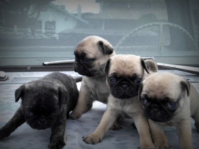 pug puppies wallpaper. december pug puppies by ~HannahBoogerBear on deviantART