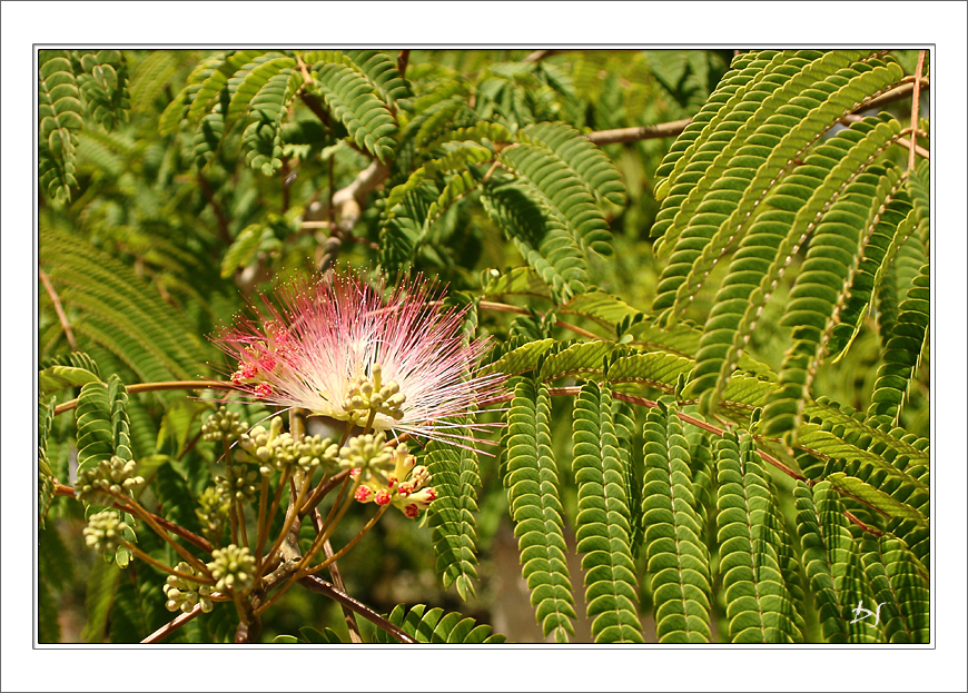 mimosa pudica by DanStefan