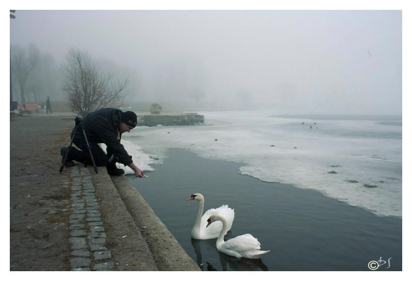 Feeding swans-DS