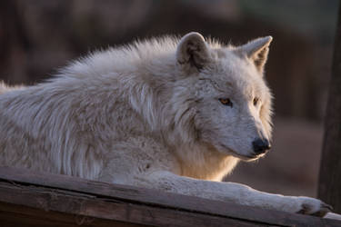 Arctic Wolf by morgh-us