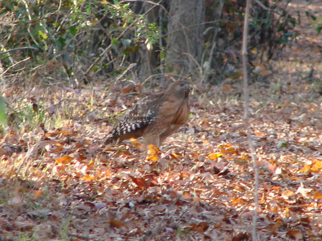 Red Shouldered Hawk fall