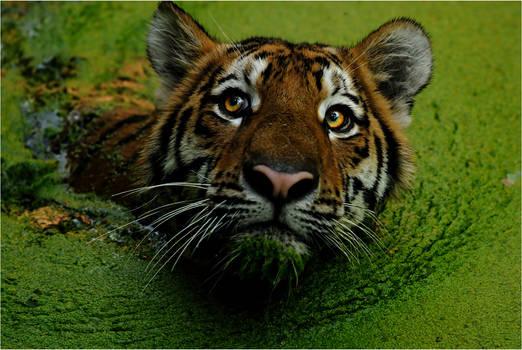 Swamp-Tiger