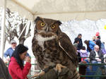 Great Horned 1