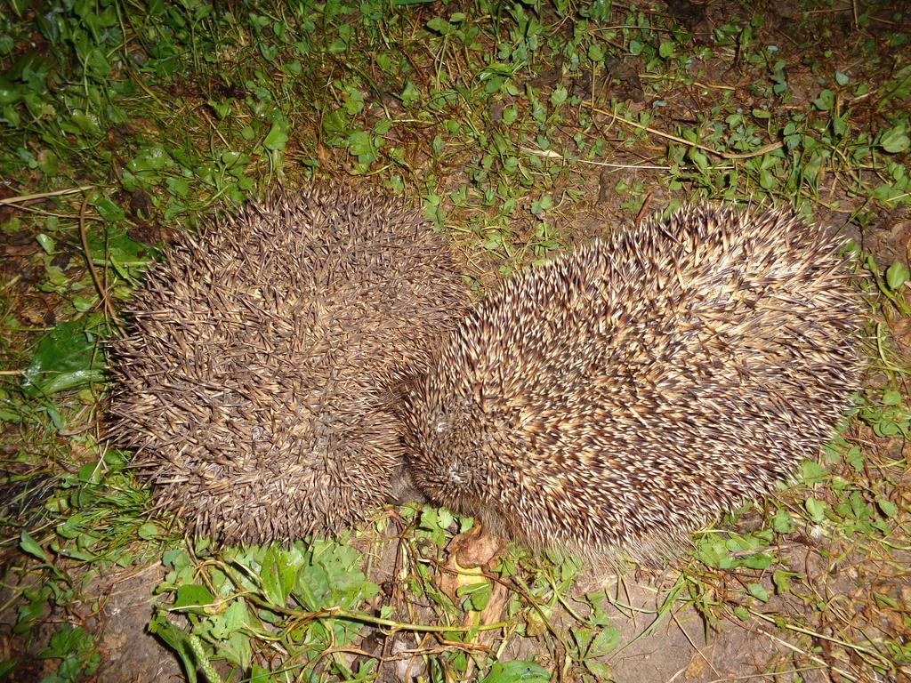 Hedgehogs by Blue-Lambda