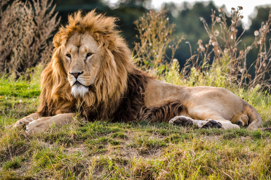 Lion by Bobbykim666