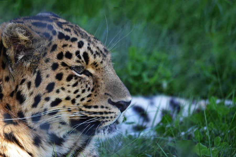 Leopard by Bobbykim666