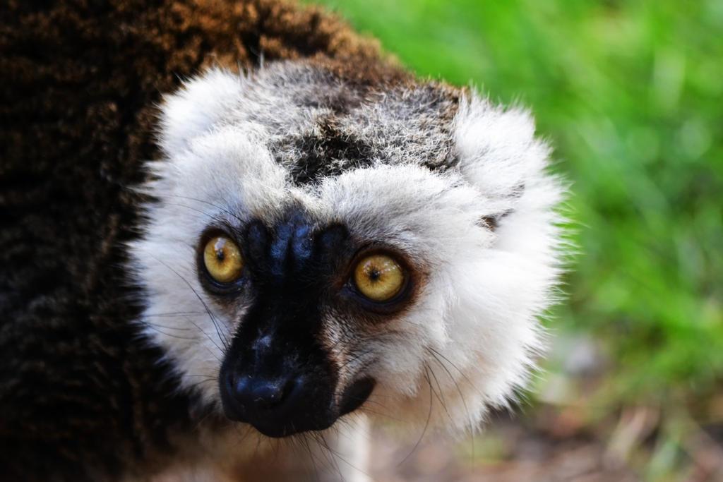 Lemur by Bobbykim666