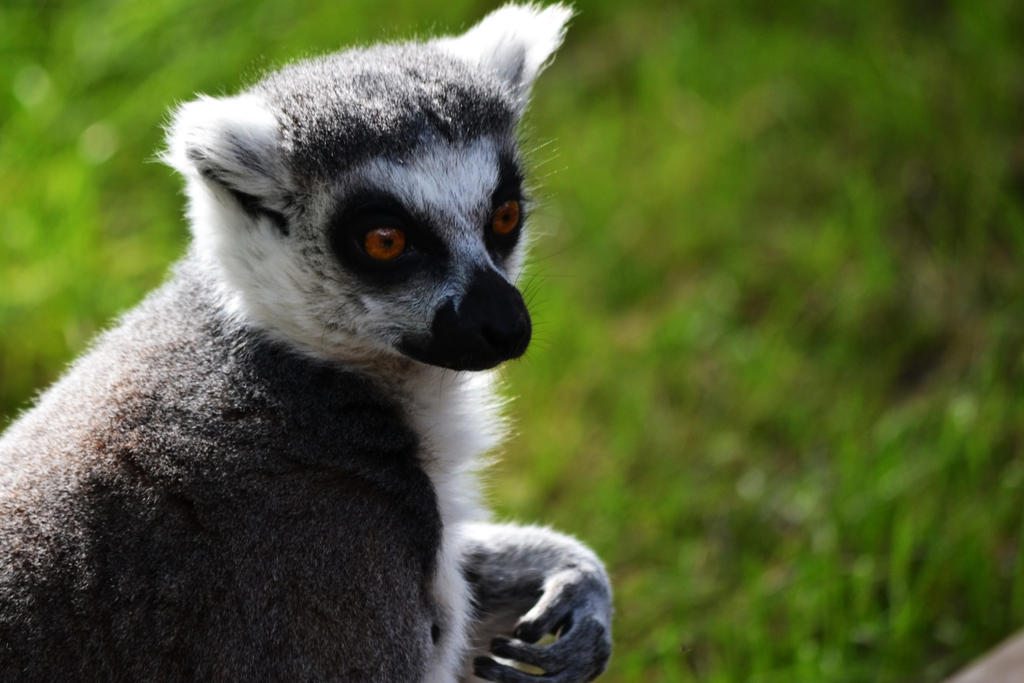 Ring-tailed lemur by Bobbykim666