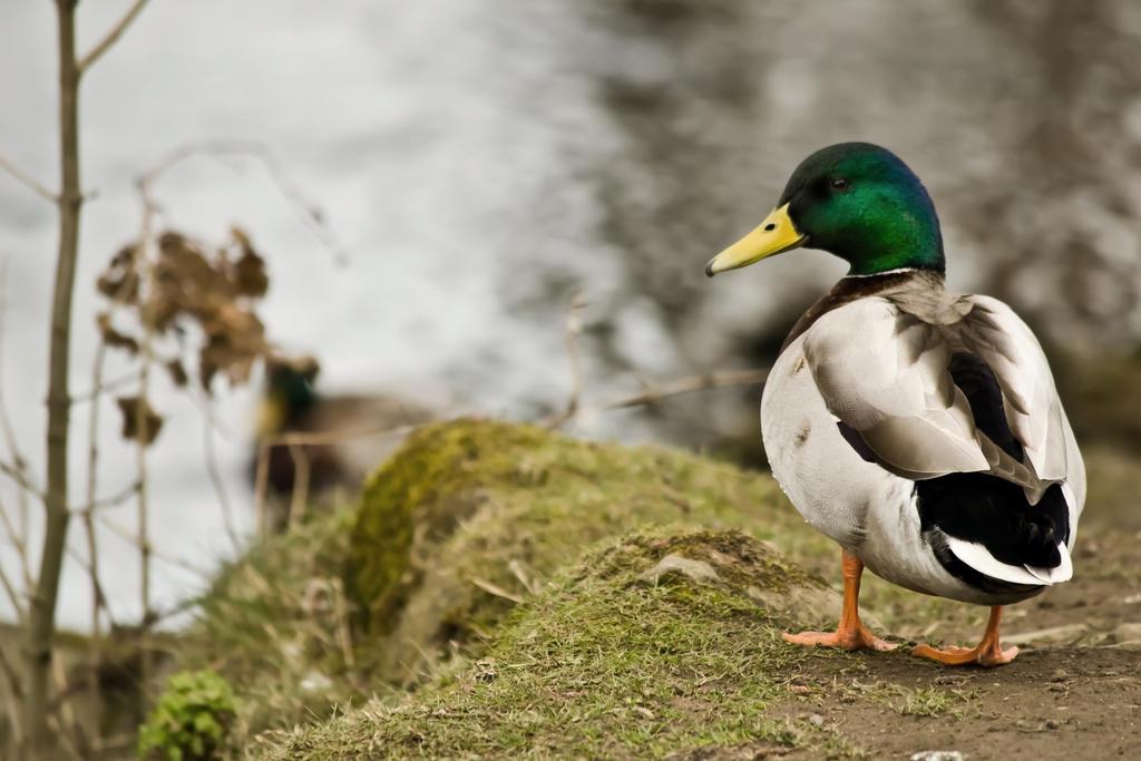 Duck by Bobbykim666