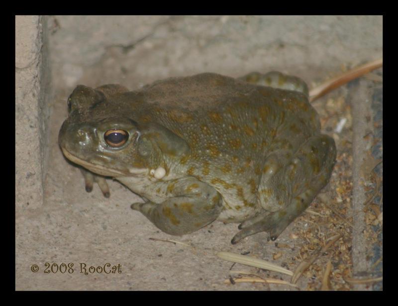 Colorado River Toad By Roocat On Deviantart