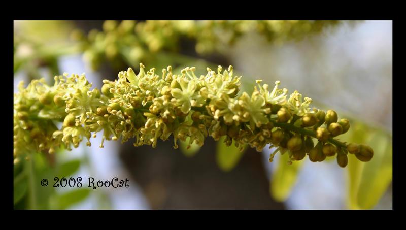 Honey locust tree flowers