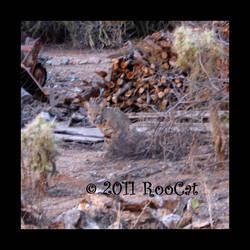 BobCat by RooCat