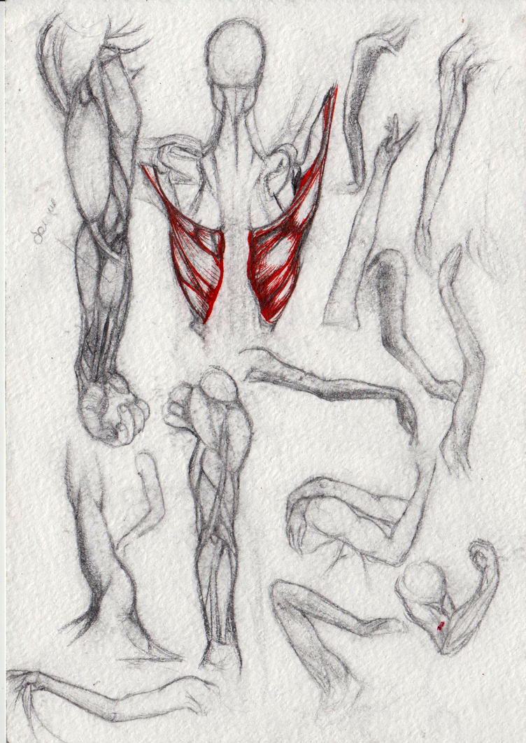 Anatomy sketches by Avokad
