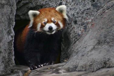 Red Panda by al-b