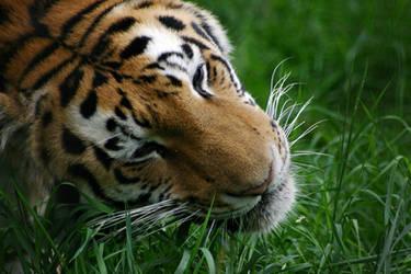 Siberian Tiger by al-b