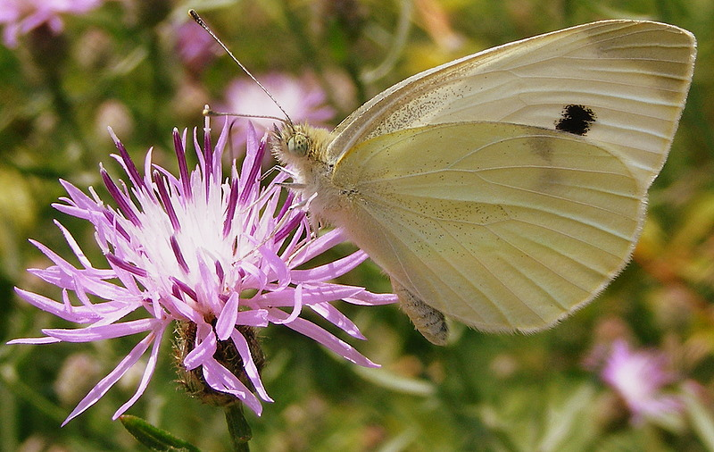 Cabbage White by PaganFireSnake