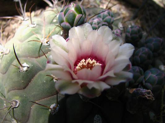 Cactus Rose  3710