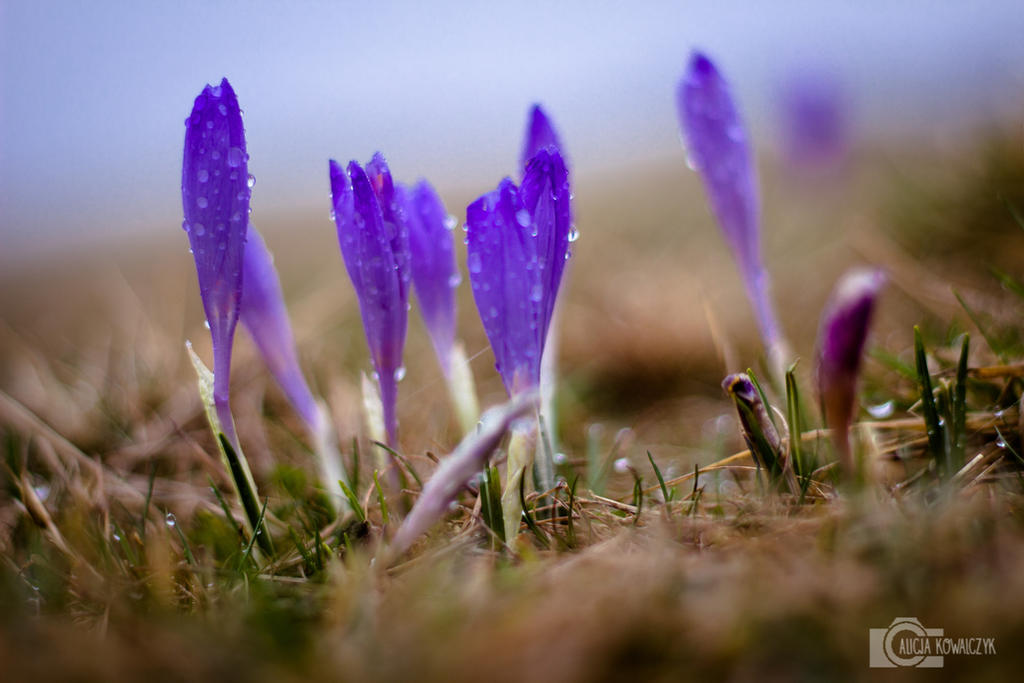 Crocus in polish mountains by licjanna