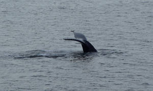 Whale Tail by Earthfeeler