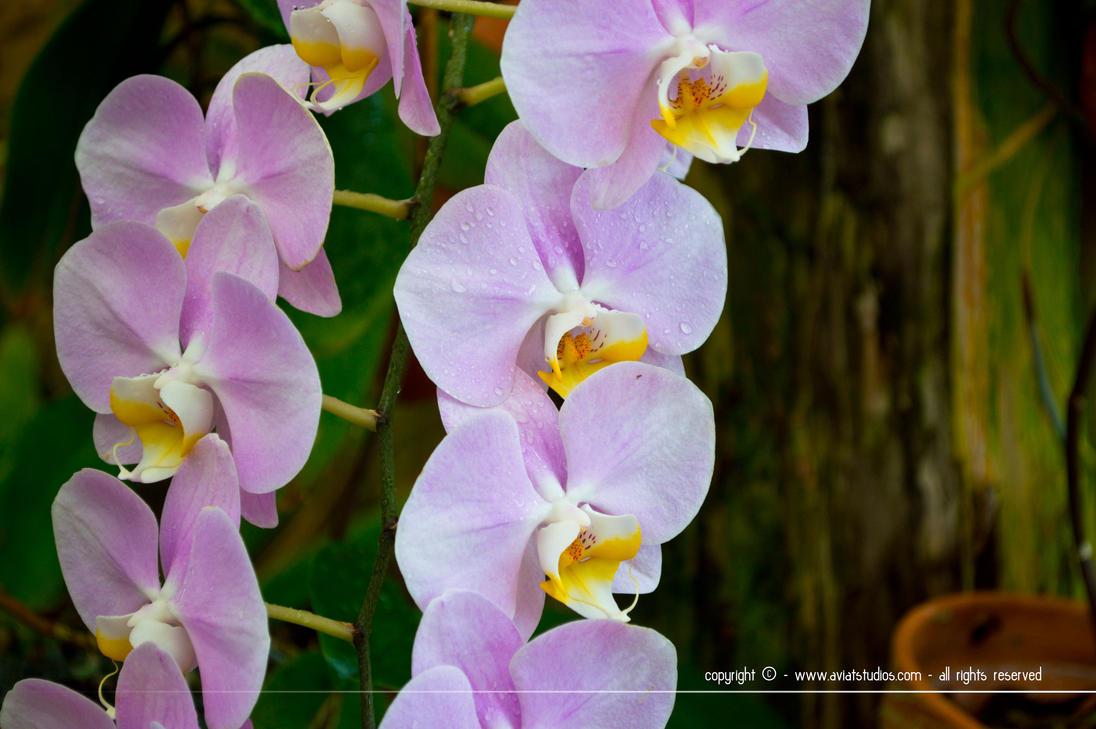 Violet Orchids by aviatStudios