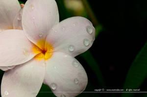 Droplets on Petals