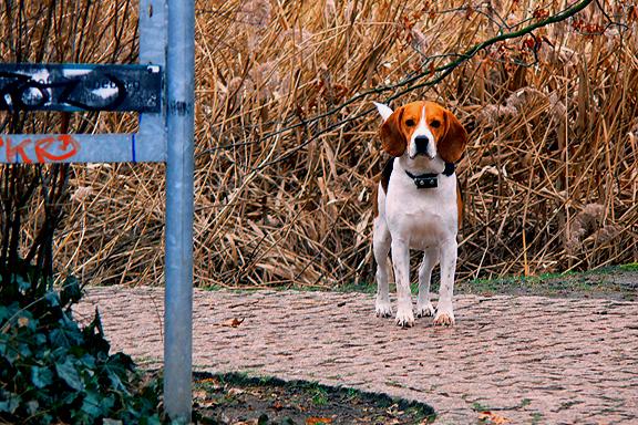 Beagle by Sweetel