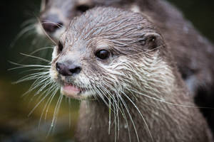 Otters I by paschlewwer