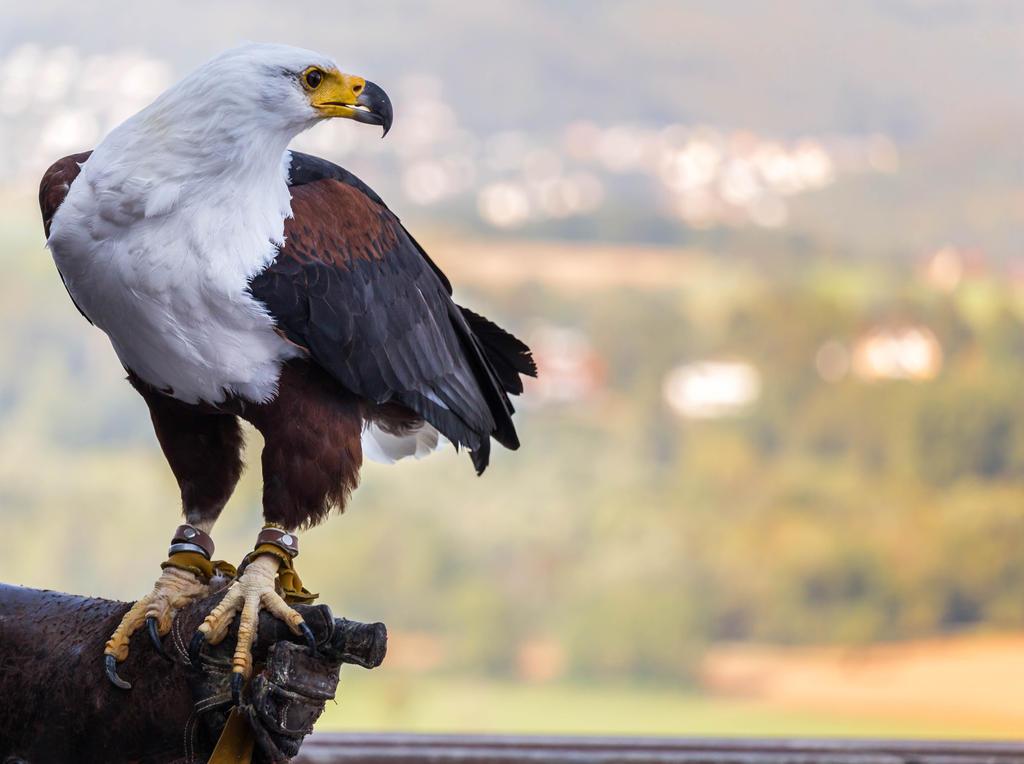 African fish eagle (Haliaeetus vocifer) by paschlewwer