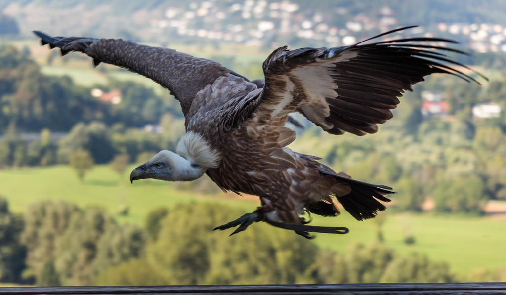 Griffon vulture (Gyps fulvus) by paschlewwer